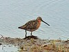 "….we hear shorebirds such as this Short-billed Dowitcher giving their display calls as they fly over the purple saxifrage-covered tundra. The tundra here is also home to…<div id=""caption_tourlink"" align=""right""> [photo © participant Cliff Heinsel]</div>"