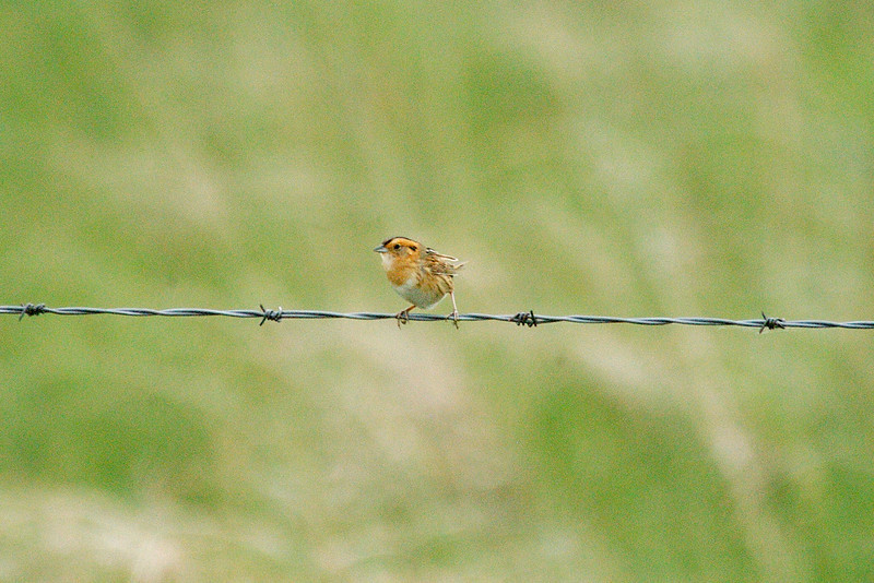 """Nelson's Sharp-tailed Sparrow <div id=""""caption_tourlink"""" align=""""right""""> [photo © participant Cliff Hensel]</div>"""