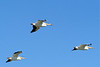 """…American White Pelicans occur on some of the larger lakes where we seek Western and Eared grebes, Caspian Terns, nesting American Avocets and the recent colonizers, White-faced Ibis. At the northern edge of the prairies lies…<div id=""""caption_tourlink"""" align=""""right""""> [photo © participant Cliff Heinsel]</div>"""