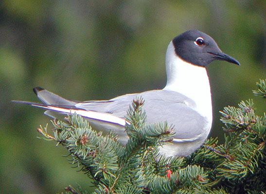 """….Bonaparte's Gulls. This beautiful gull, well-known to most birders as a wintering species, seems out of place perched in a spruce tree, but this is where it nests! Many species seem oddly mislaid here in Churchill, where Lesser Yellowlegs and Hudsonian Godwits are seen perched in the tops of trees as they sing to attract females and defend their tundra territories while looking down upon….<div id=""""caption_tourlink"""" align=""""right""""> [photo © George Armistead]</div>"""