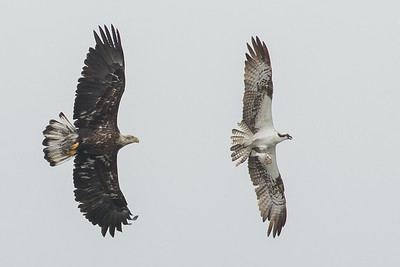 Bald Eagle wants what Osprey has! Photo by guide Doug Gochfeld.