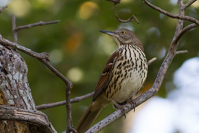 Brown Thrasher. Photo by guide Doug Gochfeld.