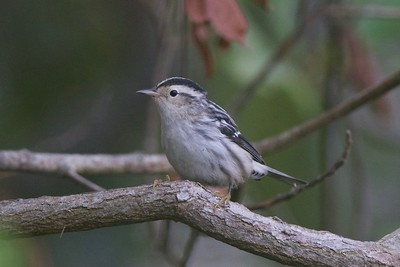 Black-and-white Warbler, photographed by guide Cory Gregory.