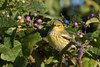 A subtle but lovely Cape May Warbler. Photo by guide Doug Gochfeld.