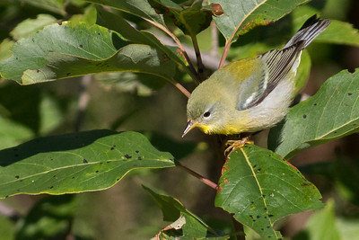Northern Parula is one of numerous species of warblers moving southward in the fall. Photo by guide Doug Gochfeld.