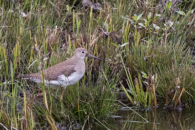 Solitary Sandpiper joins numerous other shorebirds during stopovers at Cape May. Photo by guide Doug Gochfeld.