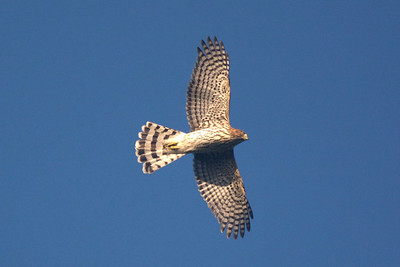 Cooper's Hawk, photographed by guide Cory Gregory.