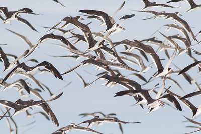 A mixed flock of adult and juvenile Black Skimmers. Photo by guide Doug Gochfeld.