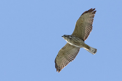 Broad-winged Hawk juvenile -- part of the big raptor movement Cape May witnesses each fall.  Photo by guide Doug Gochfeld.