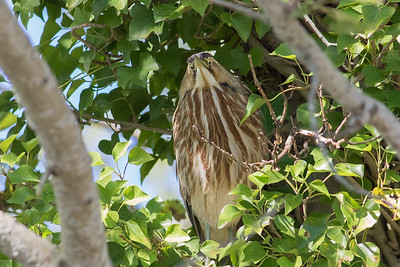 American Bittern showing us it does have bifocal vision! Photo by guide Doug Gochfeld.