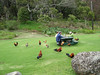"""We were amazed at the abundance of introduced ground-nesting game birds on Kauai, where there are no mongooses.  But even this scene in Kokee State Park didn't prepare us for the following morning, when some of us would have muffins filched from our own picnic table!   <div id=""""caption_tourlink"""" align=""""right""""><br>[photo © Rose Ann Rowlett]</div>"""