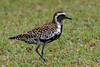 "One of our first impressions of the islands: Pacific Golden-Plovers, many of them molting into breeding plumage, were running around parks and lawns all over Oahu!  <div id=""caption_tourlink"" align=""right""><br>[photo © George Armistead]</div>"