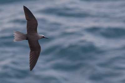 Black Noddy seen from the Chain of Craters road. Photo by guide Doug Gochfeld.