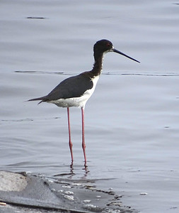 The endemic Hawaiian Stilt. Photo by guide Dan Lane.