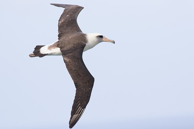 Laysan Albatrosses nest on the islands, and this one gave us a close fly-by. Photo by guide Doug Gochfeld.