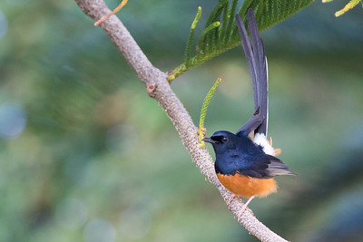 The eye-catching White-rumped Shama. Photo by guide Doug Gochfeld.