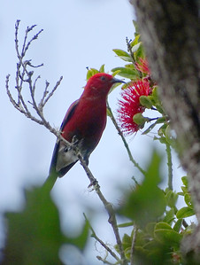 The endemic Apapane, photographed by guide Dan Lane.