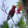 The endemic Apapane, photographed by guide Dan Lane.