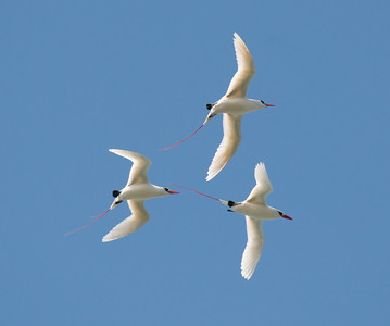A trio of graceful Red-tailed Tropicbirds at Kilauea Point. Photo by participant Jim Jackson.