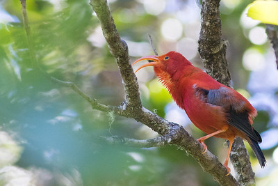 The brilliant Iiwi is a big attraction for birders among the endemic landbirds. Photo by guide Doug Gochfeld.