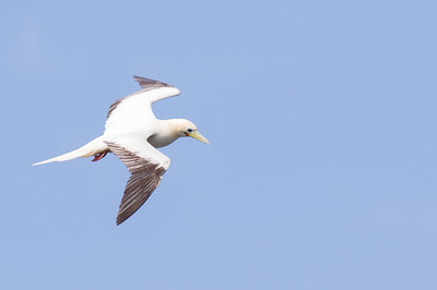Red-footed Booby at Kilauea Point. Photo by guide Doug Gochfeld.