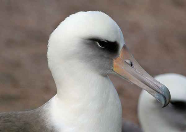 "Laysan Albatross, Kauai<div id=""caption_tourlink"" align=""right""> [photo © guide Alvaro Jaramillo]</div>"