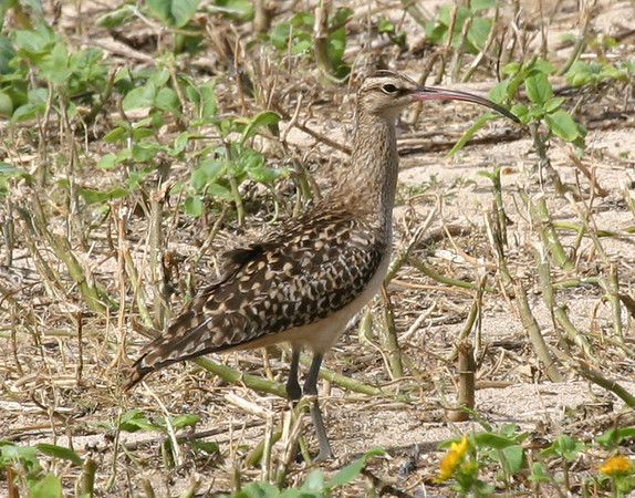 "Bristle-thighed Curlew, Hawaii<div id=""caption_tourlink"" align=""right""> [photo © guide George Armistead]</div>"