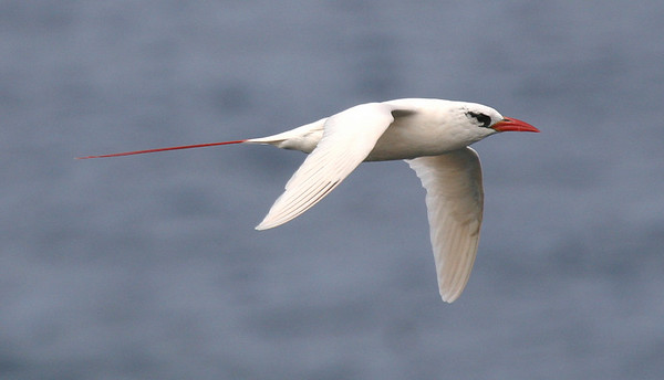 "Red-tailed Tropicbird<div id=""caption_tourlink"" align=""right""> [photo © guide George Armistead]</div>"