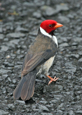 "Yellow-billed Cardinal, Hawaii<div id=""caption_tourlink"" align=""right""> [photo © guide Alvaro Jaramillo]</div>"