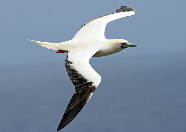 "Red-footed Booby, Kauai<div id=""caption_tourlink"" align=""right""> [photo © guide Alvaro Jaramillo]</div>"