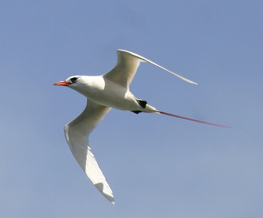 "Red-tailed Tropicbird <div id=""caption_tourlink"" align=""right""> [photo © guide George Armistead]</div>"