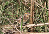 Another skulker hiding in the rice is Le Conte's Sparrow. This individual was surprisingly obliging along one the dikes. (Photo by guide Eric Hynes)