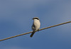 Loggerhead Shrikes are a common sighting on the wires and fenceposts around southwestern Louisiana. (Photo by guide Eric Hynes)