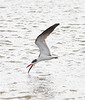 Black Skimmers doing their thing is just part of the show during our picnic lunch on the coast. (Photo by guide Eric Hynes)