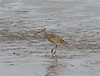 East Jetty in Cameron often turns up unexpected species for the tour. A Long-billed Curlew was one of the standouts during one of our 2012 tours. (Photo by guide Eric Hynes)