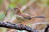 Guide Dan Lane has developed an effective technique for getting good looks at the sneaky Bachman's Sparrow. The illinoensis subspecies we encounter in Kisatchie National Forest is more rufous above than the nominate race. (Photo by guide Jesse Fagan)