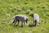A pair of Coyotes (Canis latrans) dig for voles at Yellowstone NP.  Photograph by guide Jesse Fagan.