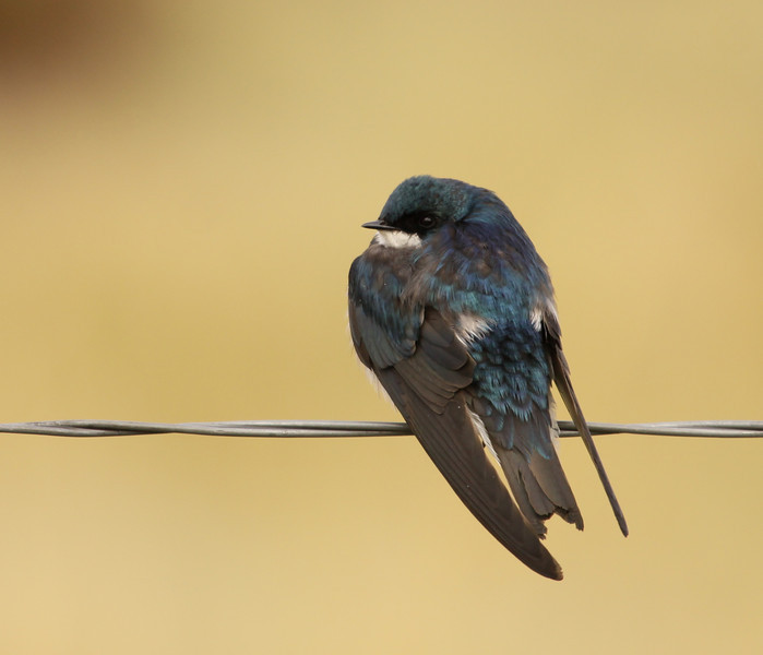 A Tree Swallow at Warm Springs WMA, Montana.  Photograph by guide Jesse Fagan.
