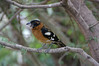 "Black-headed Grosbeak<div id=""caption_tourlink"" align=""right""> [photo © participant Nellie Hintz]</div>"