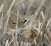 A Common Yellowthroat at Freezeout Lake, Montana, photographed by participant Chad Huckabee in June 2010.