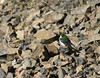 Violet-green Swallow--Yellowstone