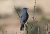 Pinyon Jays aren't too shabby either. We have a good shot at this species in Colorado National Monument. (Photo by guide Chris Benesh)