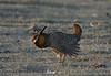 This Greater Prairie-Chicken is really strutting his stuff at dawn.  Guide Dan Lane describes prairie-chickens as appearing as though they swallowed scissors. (Photo by guide Chris Benesh)