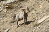The horns of a ram Bighorn Sheep continue to grow throughout his life. (Photo by guide Chris Benesh)