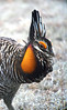 The fleshy air sacs on the throat and comb above the eye are matching in the Greater Prairie-Chicken. A Lesser Prairie-Chicken has contrasting reddish air sacs and is overall paler and less heavily barred. (Photo by guide Dan Lane)