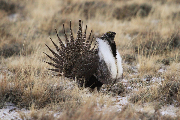Why Colorado for grouse? It's the diversity of possibilities, from mountain habitats to the Great Plains, and the recently described Gunnison Sage-Grouse, of course. This is a male Greater Sage-Grouse, with the tail less barred and nape plumes shorter than in the Gunnison. (Photo by guide Chris Benesh)