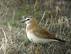 Given the habitat it prefers, Mountain Plover ranks among the poorly named species in North America, but there is no denying its subtle beauty. (Photo by guide Dan Lane)