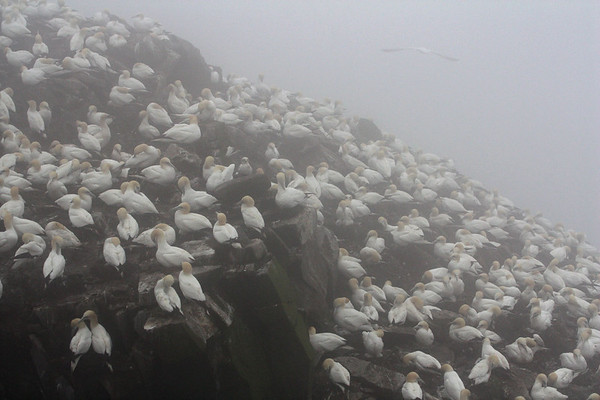 "Packed with gannets, the rock offers these birds occupy prime nesting real estate.  More than 20,000 pairs breed at Cape St. Mary's. <div id=""caption_tourlink"" align=""right""><br>[photo © Chris Benesh]</div>"