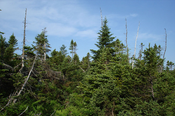 """Dense stands of spruce harbor elusive Bicknell's Thrushes in the highlands of Cape Breton National Park. <div id=""""caption_tourlink"""" align=""""right""""><br>[photo © Chris Benesh]</div>"""