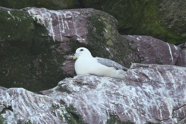 "A small number of Atlantic Northern Fulmars breed on Gull Island. This bird showed off nicely for us during our boat ride. <div id=""caption_tourlink"" align=""right""><br>[photo © Chris Benesh]</div>"